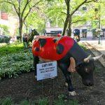 睽違20年 「牛群遊行」彩繪雕塑重回芝加哥
