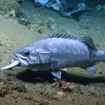 罕見!深海鯊覓食 竟被大魚埋伏生吞