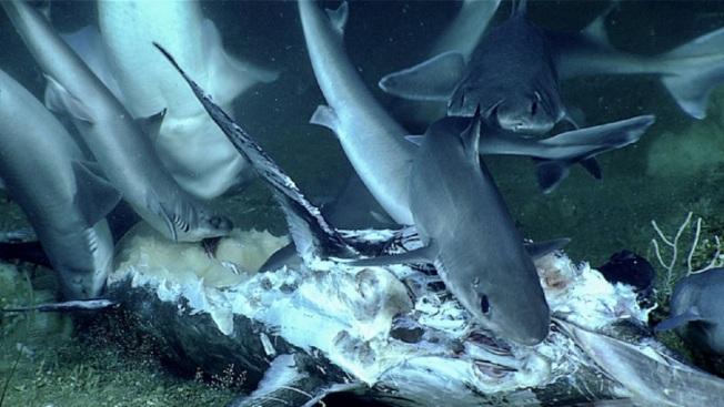美國國家海洋和大氣管理局海洋探險研究隊6月底公布一段影像,尋找二戰沉船的遙控潛艇在南卡羅來納州外海水下深處,拍到一群深海角鯊啃食劍魚遺體。畫面翻攝:oceanexplorer.noaa.gov