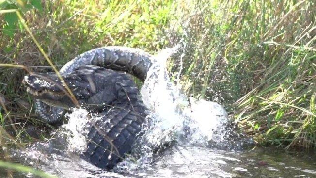 一名美國攝影師捕捉到鱷魚吞食巨蟒的驚悚畫面。路透