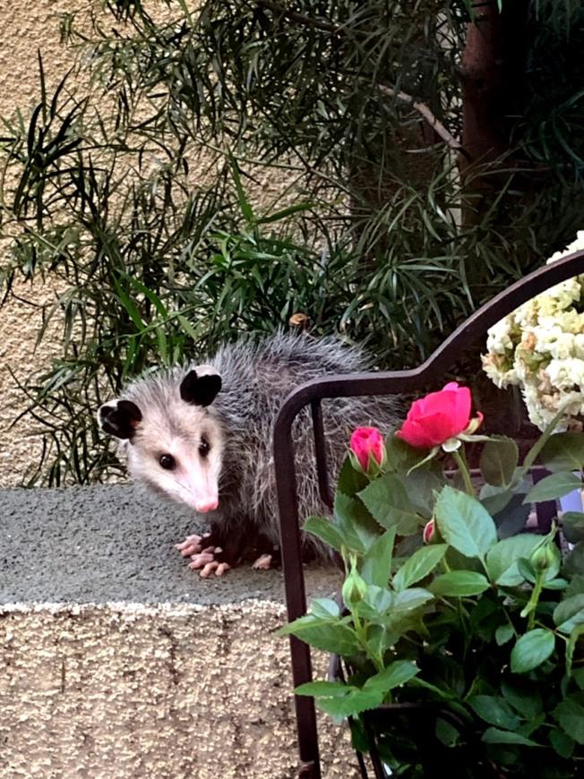 趙太太說,她就是被這隻負鼠嚇到,畢竟負鼠尖嘴、尖牙,爪子也看來很可怕。(趙太太提供)
