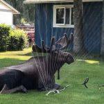 太熱啦!麋鹿闖入民宅自救 找到「寶物」消暑