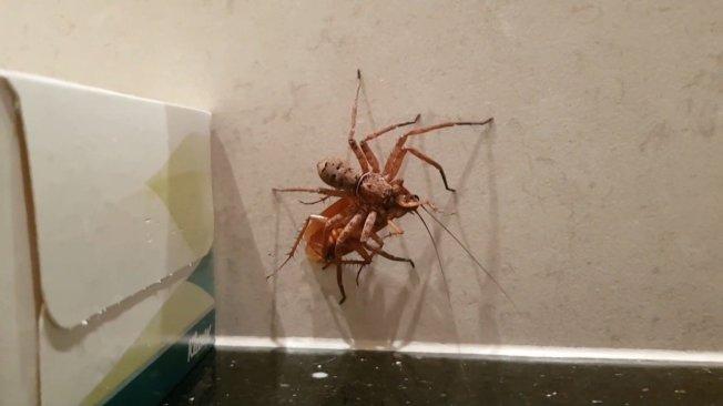 澳洲布里斯班一位居民發現自家浴室同時出現獵人蛛與大蟑螂,遂決定拿手機拍攝一場「獵人蛛大戰蟑螂」的戲碼,藉此機會告訴觀眾,為什麼見到獵人蛛時,不只不要把牠打死,還要放牠到處趴趴走。路透/ViralHog