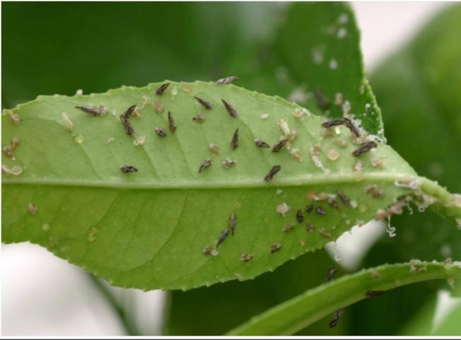 柑橘木虱是傳播黃蘢病的禍首。(加州食品與農業局提供)