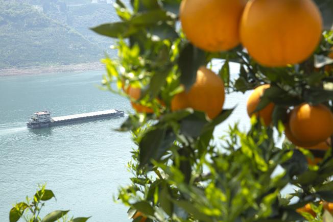 中國有廣大的柑橘園,圖為湖北秭歸的柑橘。(新華社)