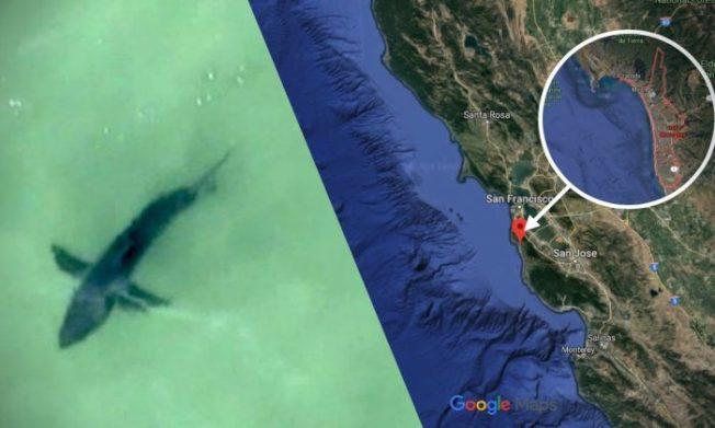 中半島聖馬刁縣警察局發推文和照片說,直升機在空中拍到,半月灣附近,發現多條大白鯊,圖為縣警發布、從高空拍到的大白鯊照片。(圖:聖馬刁縣警察局)