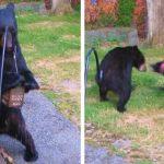 黑熊闖民宅偷吃搞破壞 鄰居黑狗勇猛驅離