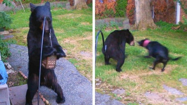 美國新澤西州修伊特居民史汀齊亞諾10日在臉書貼出一段監視器影片,一頭熊跑到他家後院,偷餵鳥器裡的鳥食吃,卻被鄰居家的黑色拉布拉多犬萊利一臉凶相地趕跑。畫面翻攝:Inside Edition