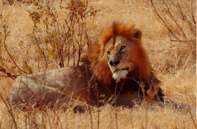 威武的雄獅。