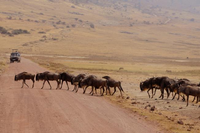 動物世界的「主人」過馬路。
