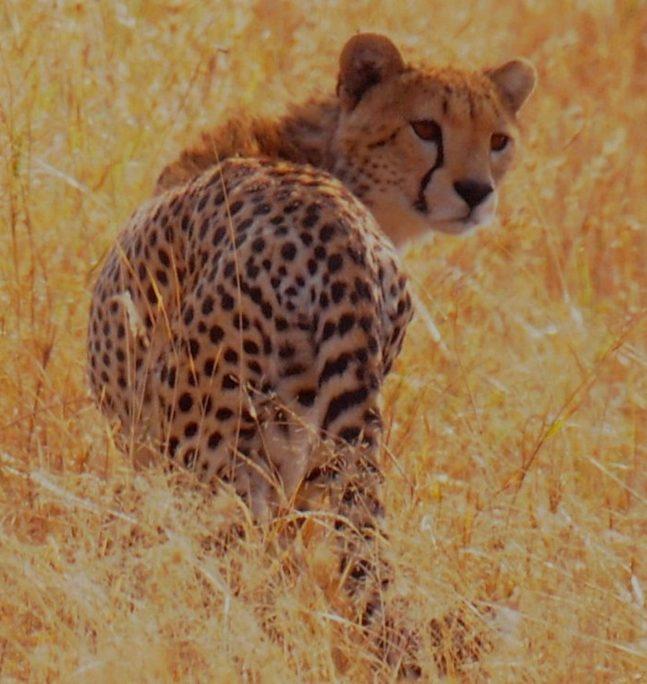 非洲之寳獵豹。