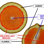 柑橘白軟皮 具抗癌化合物