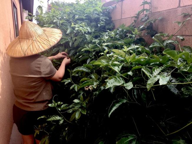 來自台灣的莊太太熱愛園藝程度爆表,平均每天花兩小時照顧她的「果菜小孩」。(記者謝雨珊/攝影)