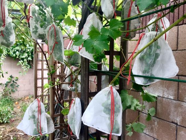 為防止鳥類偷吃,莊太太為巨峰葡萄套上保護套。(記者謝雨珊/攝影)