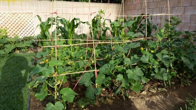 莊太太為「果菜小孩」架上支架,以防爬藤類的蔬果亂長。(莊太太提供)