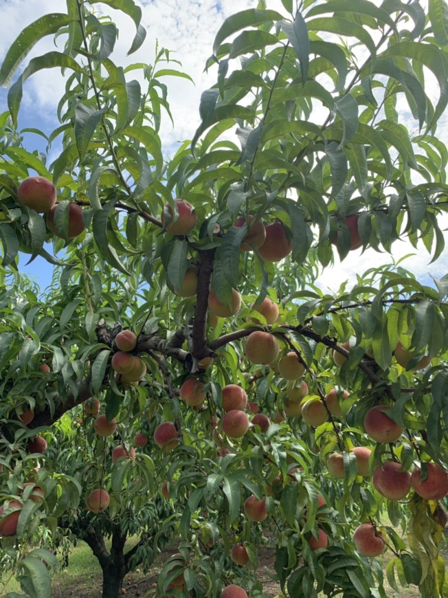 時逢盛產季節,南方美人農場桃樹果實纍纍。(榮光會提供)