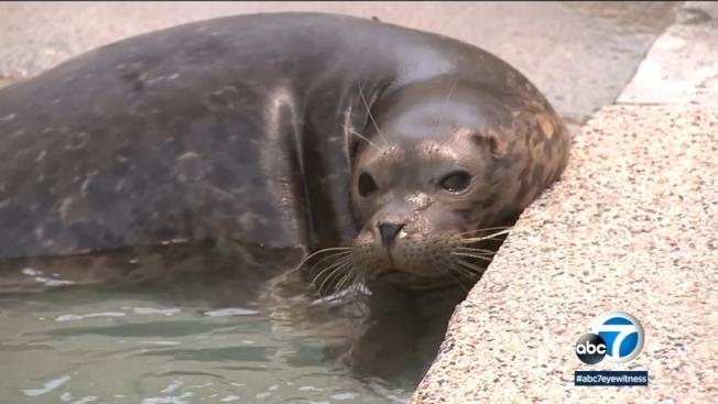 最近幾周,海洋生物學家發現沙魚在南加州海岸附近襲擊海獅事件,有不尋常增加。(ABC7電視台)
