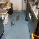 可愛罪犯!兩隻企鵝誤闖壽司店 警方到場「逮捕」歸案
