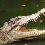 藥物沖進馬桶 竟會養出「冰毒鱷魚」
