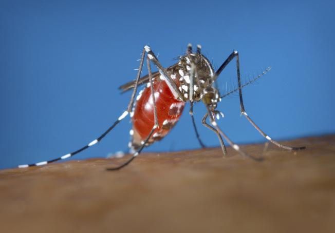 密西根州立大學科學家奚志勇率領的研究人員用包括雷射等方式讓公蚊喪失繁殖能力,來消滅蚊子。圖為一隻母蚊在吸食人血。(美聯社)