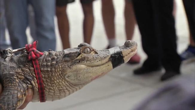 網紅鱷魚Chance the snapper16日凌晨「落網」。(ABC7chicago視頻截圖)