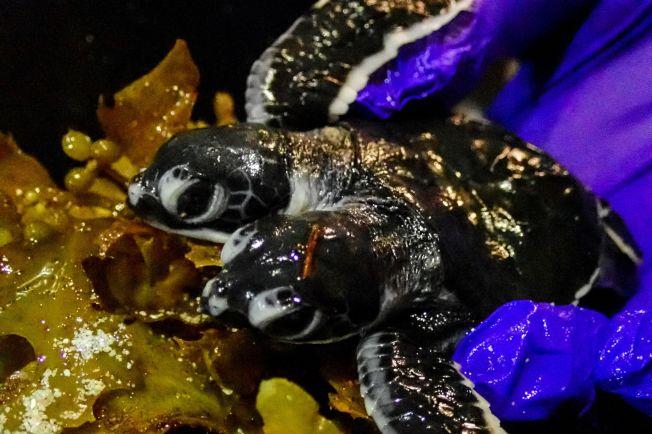 圖為雙頭海龜寶寶在馬來西亞出生,引發各界熱議,海洋生物學家更稱它「十足迷人」。然而,海龜寶寶被發現後只存活了2天。Getty Images