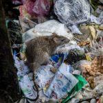 上西城撤逾百垃圾桶 鼠患投訴暴增38%
