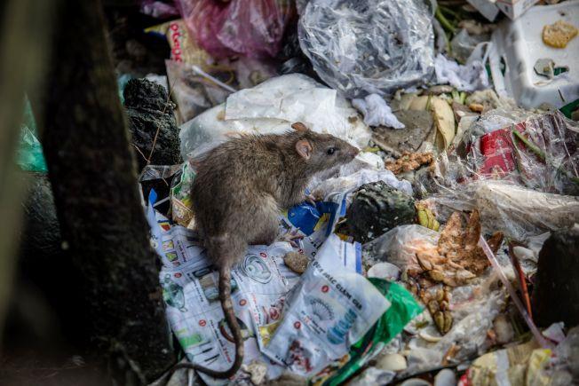 市府移走曼哈頓上西城逾百個垃圾桶後, 鼠患問題更嚴重。圖為老鼠在垃圾堆中覓食 。( Getty Images)