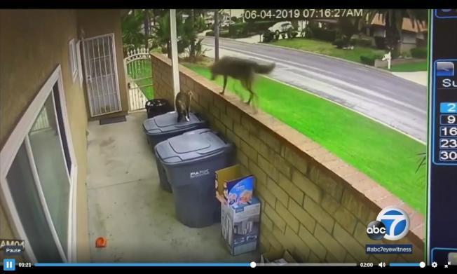土狼跳到牆上與貓咪對峙。(監視器畫面)