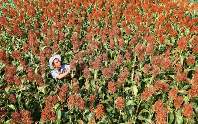 中國為全球最大高粱進口國。圖為山東的高粱田。(新華社資料照片)