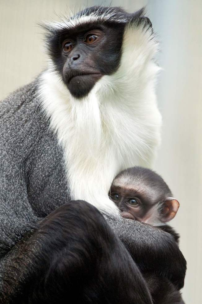 國際自然保育聯盟18日將龍紋鱝(圖)等超過7000種動物、魚類和植物列入瀕危物種「紅色名錄」。圖為迦納長尾猴(Roloway Monkey)。Getty Images