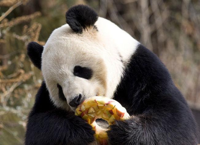 大熊貓添添享受水果冰棒。(國家動物園提供)