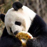 熱浪持續 大熊貓享受冰品消暑