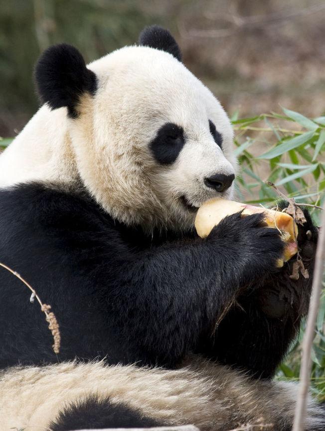 大熊貓美香享受冰凍水果。(國家動物園提供)