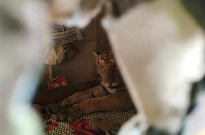 老虎似乎查覺到人類回家了,隔著牆上的孔與鏡頭對望。路透