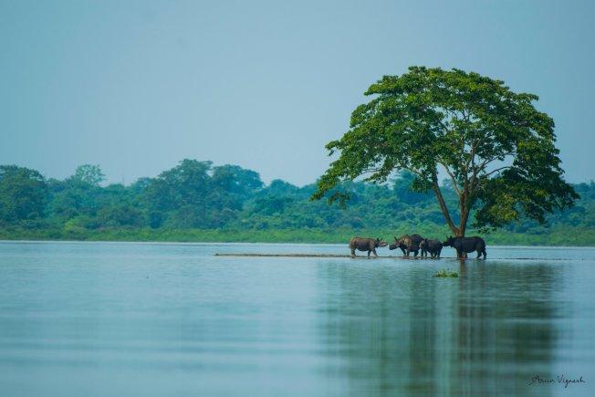 卡齊蘭加國家公園擁有世界上數量最多的印度獨角犀(one-horned rhinoceroses),圖為一群犀牛在乾地避難。擷自Twitter/@arunvigneshcs
