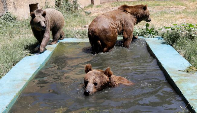 伊拉克一動物園,幾隻熊在池中戲水。(路透)