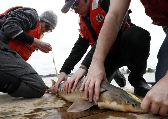 研究人員丈量鱘魚身長。(美聯社)