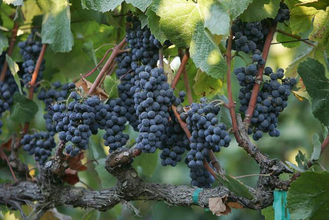報告指出,如果氣溫持續升高,加州未來恐怕無法再種植釀酒葡萄。(Getty Images)