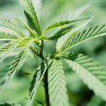夏州新法 允許持有少量大麻 持3盎司以下不會坐牢