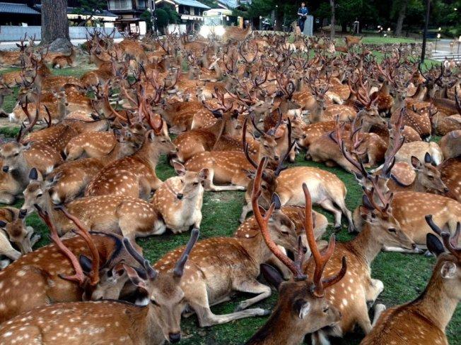 博物館館員拍下上百頭鹿聚集奈良國立博物館外草坪上。圖擷自佐々木 香輔推特