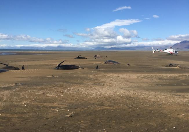 冰島西部的斯奈山半島海岸近日發現數十隻領航鯨陳屍海灘。美聯社