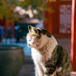 「牠們工作很辛苦」 北京故宮養數百隻貓到底做什麼?