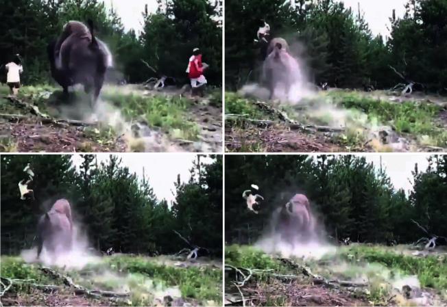 美國黃石國家公園23日證實,日前有一名女童遭園區內美洲野牛衝撞拋飛,所幸傷勢不嚴重,送醫後已經返家。圖片擷取Twitter/@haileyydayton影片