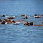 百匹野生小馬賽泳技 吸引萬人圍觀