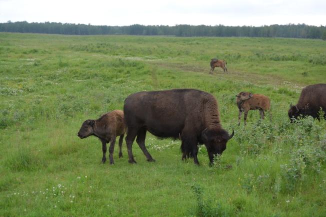 艾德蒙頓以東的麋鹿島國家公園內,野牛成群結隊。(記者劉先進/攝影)