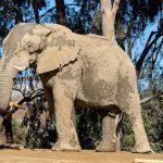 亞城動物園 喜迎非洲象及猩猩寶寶