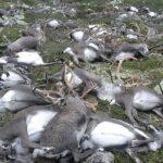 北極圈群島 200頭馴鹿餓死