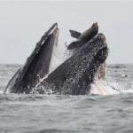海獅險遭座頭鯨大口吞  攝影師拍下驚險瞬間