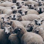 德國180隻綿羊失足墜落陡峭隘口喪命